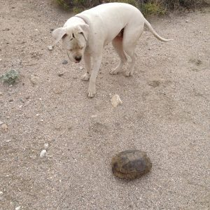Desert tortoises had a busy mating season this year. Lola can't quite figure out why that rock was moving