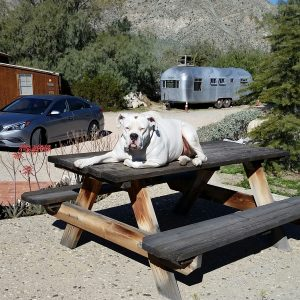 Lola relaxing on the front yard picnic table