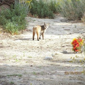 Bobcat sighting: look who was walking to the river early in the morning the other day