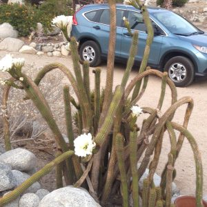 Cereus Cactus in bloom in the parking area in front of the lodge