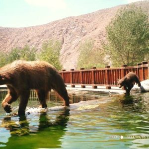 Mama Bear and her cub moved back up to the trout farm - Whitewater Preserve