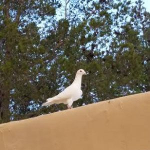 Rare White Ring Neck Dove appeared on the roof of the adobe. Good omen?